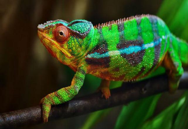 pantherchameleon1-625x352